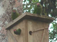 Three El Oro Parakeets