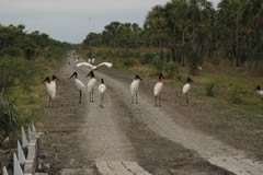 Jabirus (Jabiru mycteria) on the track