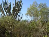 Dry Chaco vegetation