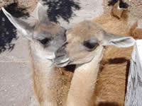 Guanacos at Ranch of Hopes Wildlife Refuge