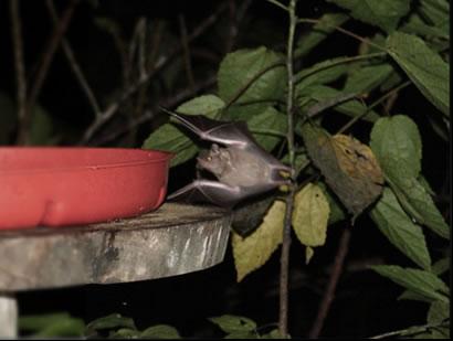 bat at webcam feeder