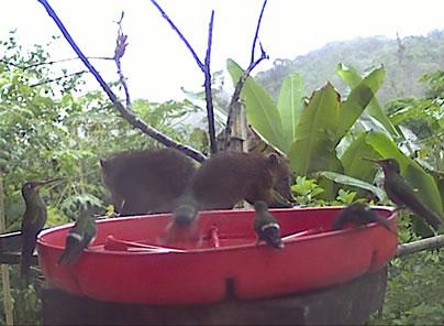 coatis at webcam feeder