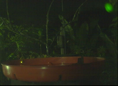 firefly at webcam feeder