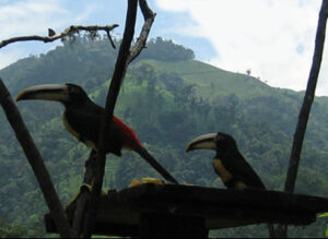 toucans at webcam feeder