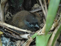 Jocotoco Antpitta chick in nest