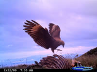 Camera trap image of a Caranculated Caracara
