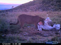 Camera trap image of a puma