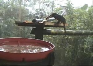 Collared Aracari Toucan at the wildlife webcam