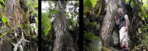 The remarkable Cedro tree