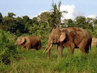 Herd of Bornean Elephants