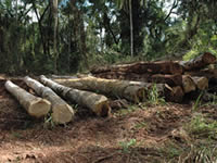 Timber logged in the Atlantic Rainforest