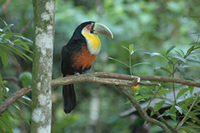 Toucan in the Atlantic rainforest