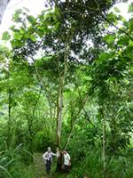 Nigel Simpson underneath an Inga tree