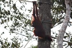 Wild orang-utan in Borneo