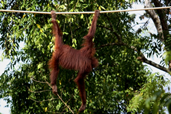 Orang-utan crossing a river using a rope bridge