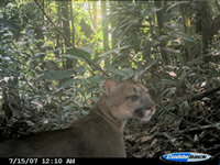 Camera trap photo of puma
