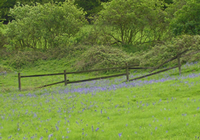 Bluebells at Kites Hill Reserve