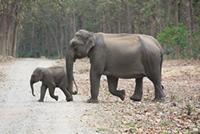 Asian Elephants in Corbett National Park