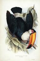 Toco toucan lithograph
