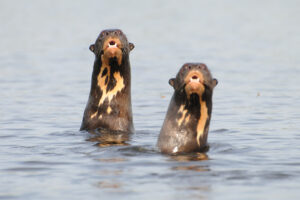 Two Giant Brazilian Otters rear up from the water. Credit Emily Horton.