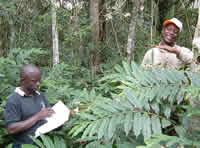 Tree measuring with UWA staff
