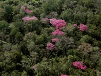 Flowering Lapacho Trees in the Dry Chaco
