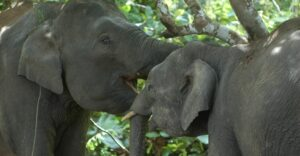 Bornean Elephant Friends in the Lower Kinabatangan floodplain, Malaysian Borneo. Credit Hutan/Jamil Sinyor
