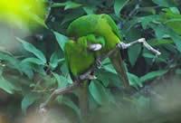 Green Parakeets
