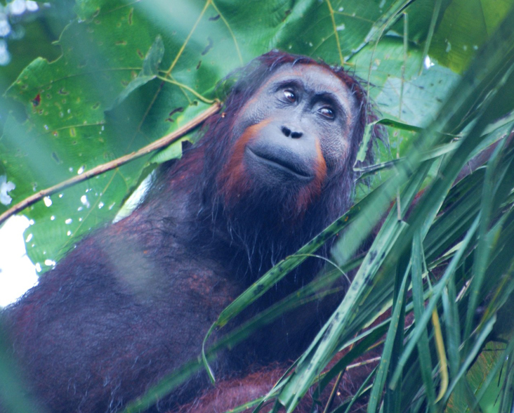Young male orang-utan being monitored by Hutan