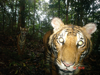 Malayan Tiger - 2010 Camera trap competition winner