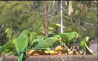 Plain Parakeets
