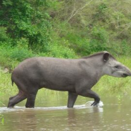 Tapir in the Dry Chaco ©Marianela Velilla