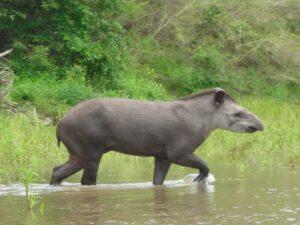 Tapir in the Dry Chaco ©Marianela Velilla