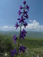 Delphinum quercetorum