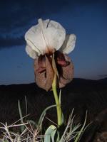 Iris elgantissima