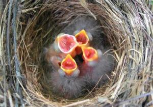 Brush Finch Nest