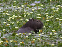 Capybara in Braziilian