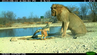 Lion vs Jackal
