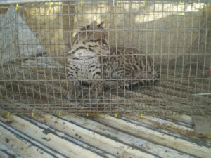 Ocelot ready for release