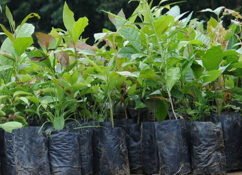Atlantic Forest seedlings