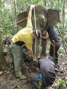 Dr Benoit Goossens and Wildlife Rescue Unit measuring Jasmine the Pygmy Elephant