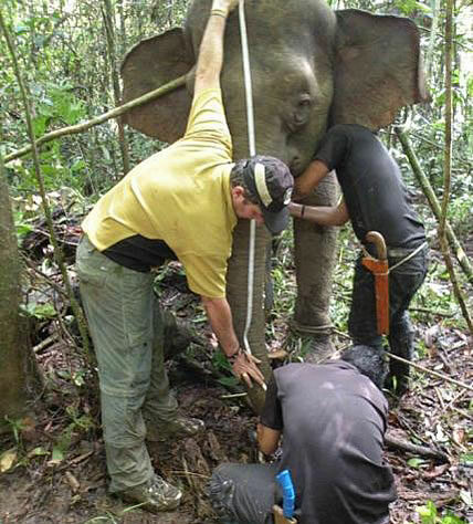 Dr Benoit Goossens and Wildlife Rescue Unit measuring Jasmine the Pygmy Elephant