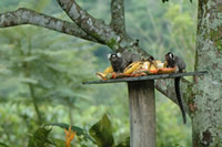 Marmosets at REGUA