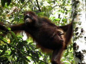 Orang-utan mother and baby