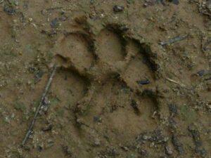 Puma footprint
