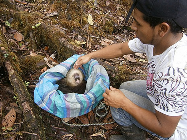 Two-toed Sloth release