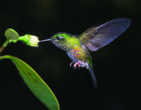 Colourful Puffleg Hummingbird