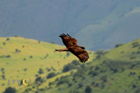 Buzzard in Caucasus Wildlife Refuge, Armenia