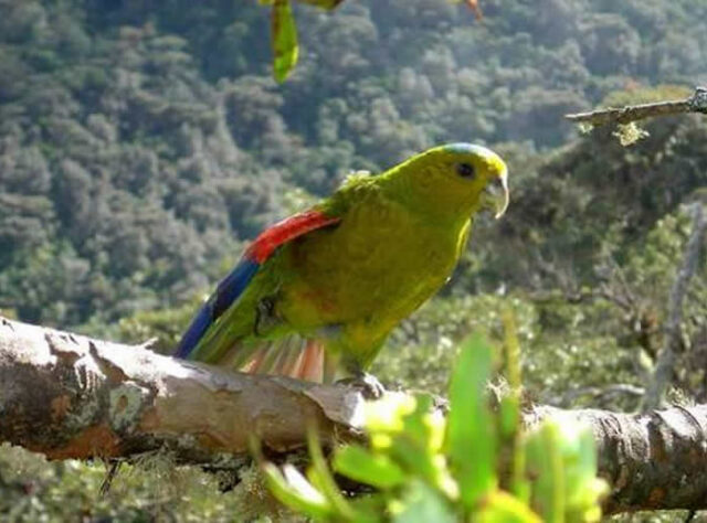 Fuertes's Parrot in rainforest habitat, Colombia