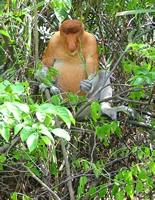 Proboscis Monkey in Borneo, Malaysia